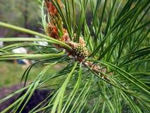 Giovane cono del pino fotografia stock libera da diritti