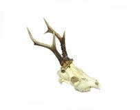 Giovane cranio dei cervi Fotografia Stock