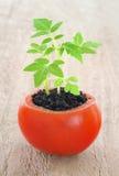 Giovane crescita della pianta di pomodori Immagine Stock Libera da Diritti