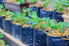 giovane crescita delle piante di fragola Immagine Stock Libera da Diritti