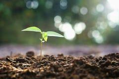 giovane crescita di piantatura nel giardino e nella mattina fotografia stock libera da diritti