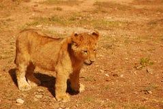 Giovane cub di leone sveglio Fotografia Stock