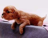 Giovane cucciolo Immagine Stock Libera da Diritti