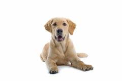 Giovane cucciolo fotografia stock