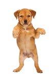 Giovane cucciolo che sta su Immagini Stock Libere da Diritti