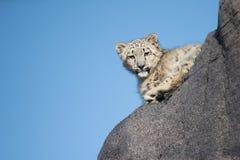 Giovane cucciolo del leopardo delle nevi che scala sulla roccia Fotografia Stock