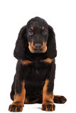 Giovane cucciolo del setter scozzese su fondo bianco Fotografia Stock Libera da Diritti