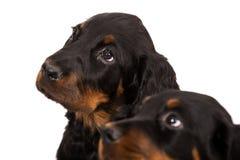 Giovane cucciolo del setter scozzese su fondo bianco Immagine Stock