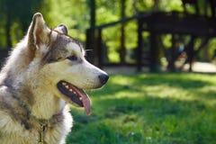 Giovane cucciolo della razza della slitta del malamute d'Alasca che si siede e che sorride all'aperto Immagini Stock