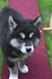 Giovane cucciolo di Alusky che sta su un'altalena a bilico Immagine Stock