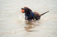 Giovane cucciolo di labrador con una palla nell'acqua immagine stock
