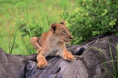 Giovane cucciolo di leone Fotografie Stock
