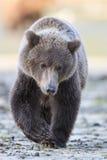 Giovane cucciolo di orso bruno Fotografia Stock