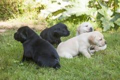 Giovane cucciolo dolce di labrador Immagine Stock Libera da Diritti