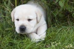 Giovane cucciolo dolce di labrador Fotografia Stock