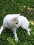 Giovane cucciolo eschimese americano Fotografia Stock