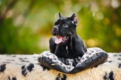 Giovane cucciolo nero di Corso della canna che si trova nella parte anteriore Immagini Stock
