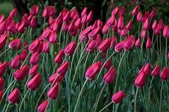 Giovane curvatura viola dei tulipani sotto la pressione del vento Immagine Stock Libera da Diritti