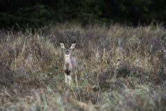 Giovane daina dei cervi muli Fotografia Stock