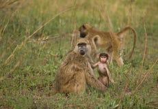 Giovane del babbuino di Chacma (cynocephalus del Papio) Fotografie Stock
