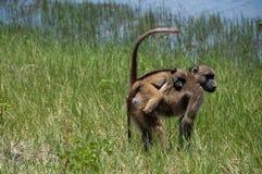 Giovane del babbuino parte posteriore sopra fotografie stock
