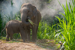 Giovane destra dell'elefante accanto a adulta Fotografia Stock