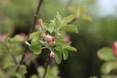 Giovane di melo in fiore in primavera Immagine Stock Libera da Diritti