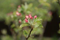 Giovane di melo in fiore in primavera Fotografia Stock