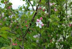 Giovane di melo in fiore in primavera Fotografie Stock Libere da Diritti
