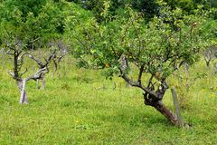 Giovane di melo in frutteto Fotografie Stock