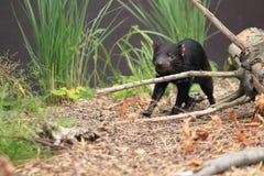 Giovane diavolo tasmaniano fotografia stock libera da diritti