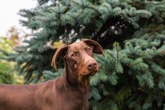 Giovane doberman di Brown con le orecchie normali Fotografia Stock