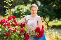 Giovane donna allegra che lavora con le rose del cespuglio con orticolo fotografie stock libere da diritti