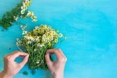 Giovane donna caucasica che lega mazzo dei fiori di recente selezionati della camomilla con cordicella su fondo di legno blu-chia Fotografia Stock