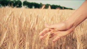 Giovane donna che cammina nel campo che gode della natura, toccante le spighette mature al tramonto archivi video