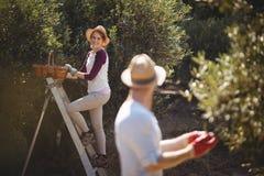 Giovane donna che coglie le olive con l'uomo in priorità alta all'azienda agricola Fotografie Stock Libere da Diritti