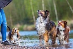 Giovane donna che gioca con tre cani ad un fiume Immagini Stock Libere da Diritti