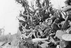 Giovane donna che pende da una corda accanto alle grandi piante del cactus (tutte le persone rappresentate non sono vivente più l Fotografie Stock