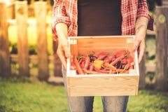 Giovane donna che seleziona i peperoni piccanti in giardino immagini stock libere da diritti
