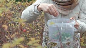Giovane donna che seleziona le bacche da un cespuglio nella foresta in autunno in freddo video d archivio