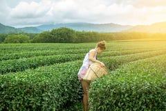 Giovane donna che seleziona le foglie di tè alla piantagione immagine stock