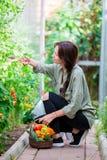 Giovane donna con il canestro di pianta e delle verdure nella serra Tempo di raccogliere Fotografie Stock Libere da Diritti