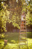 Giovane donna su sulle mele di un raccolto della scala da di melo fotografie stock