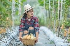 Giovane donna in una serra con la raccolta della zucca torta fotografie stock