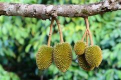 Giovane durian sul suo albero nel frutteto Fotografia Stock Libera da Diritti