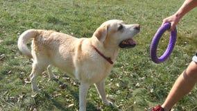 Giovane e cane che giocano con il giocattolo per all'aperto animale alla natura Labrador o il golden retriever morde e tira il gi archivi video