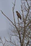Giovane eagle-1 bianco-munito. Immagini Stock Libere da Diritti