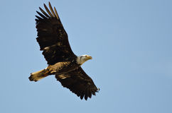 Giovane Eagle Flying calvo in un cielo blu Immagini Stock Libere da Diritti