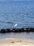 Giovane egretta nevosa sullo shorline vivente immagini stock