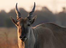 Giovane eland in sole di sera fotografie stock libere da diritti